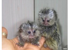 Adorable males and female Marmoset Monkeys for sale