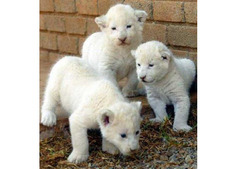 Lion cubs for sale