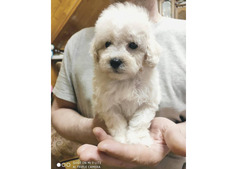 Adorable Poodle Puppies for rehoming