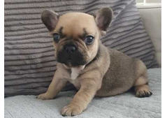 Adorable French Bulldog Puppies for sale