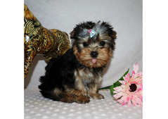Adorable Yorkshire Puppies ready for sale