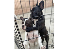 Male and female French bulldog Puppies for adoption