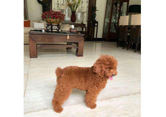 Toy Poodle For Adoption.