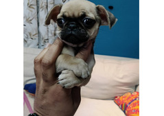 CHUG PUPPIES FOR SALE IN UAE - 050 80 63 5 22