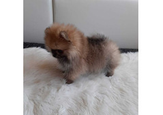 Pomeranian Zwergspitz male with Pedigree