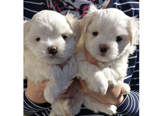 Stunning maltese puppies available for adoption
