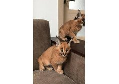 Caracal Kittens for Sale