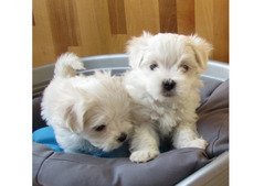 Maltese Available For Sale whatshapp +971504185305