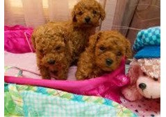 AKC Registered Tea-Cup Poodle Puppies +971504185305