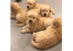 Golden retriever puppies for available whatshapp +971504185305