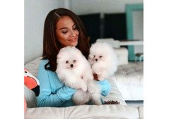 Pomeranian puppies for sell whatshapp +971504185305