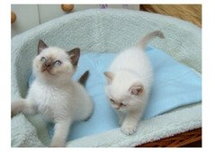 Ragdoll Kittens Currently Available