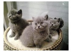 Charming and Well Socialized British Short Hair Kittens