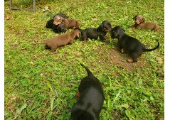 Mini Dachshunds for sale 4 females 4 males -