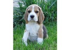 PUPPIES FOR SALE IN UAE - 050 8063522
