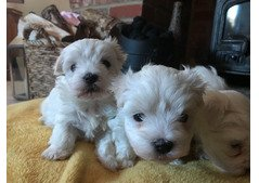 Lovely Maltese Puppies for sale