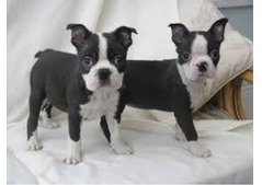 Cute Boston Terrier Puppies for sale