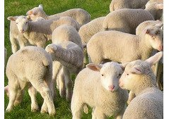 Sheep,lambs,Ewes and Rams for sale