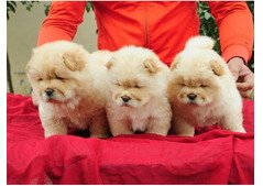 chow chow puppies for  sale. WhatsApp (+971528754639