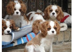 king charles puppies for sale.WhatsApp (+971528754639