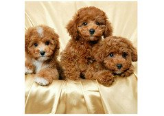 Toy poodle available.WhatsApp (+971528754639